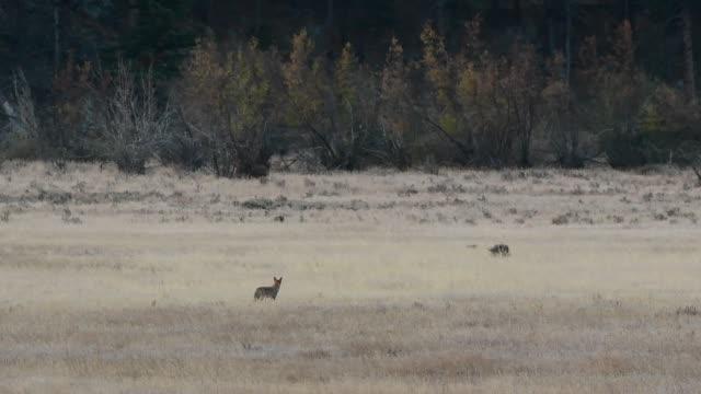 vídeos de stock e filmes b-roll de a coyote howling in a mountain meadow - coiote