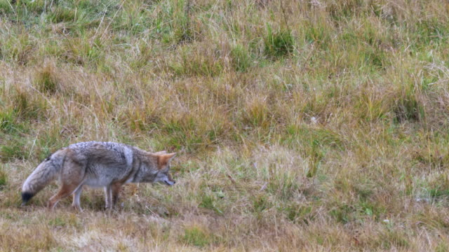 vídeos de stock e filmes b-roll de coyote hunting prey at yellowstone - coiote