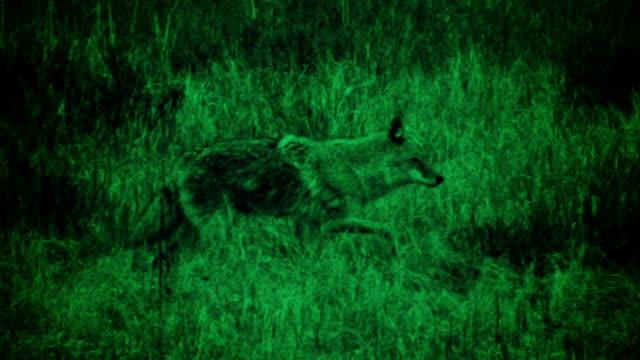 vídeos de stock e filmes b-roll de coiote de caça - coiote