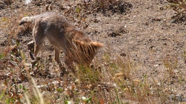 vídeos de stock e filmes b-roll de coyote hunting - coiote