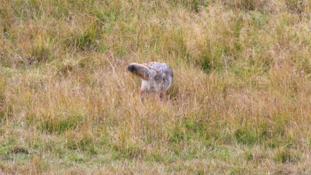 vídeos de stock e filmes b-roll de coyote in a meadow pouncing on prey at yellowstone - coiote