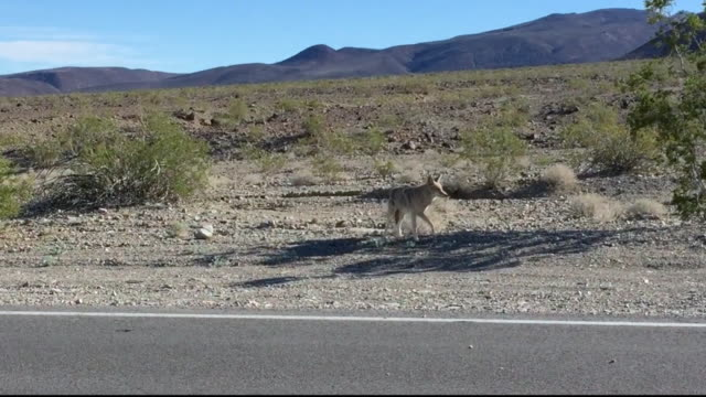 vídeos de stock e filmes b-roll de a coyote in death valley - coiote