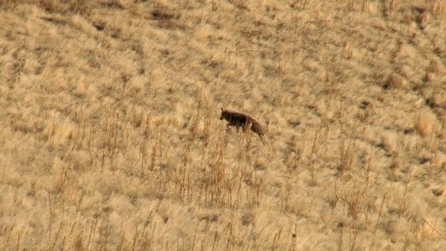 vídeos de stock e filmes b-roll de coyote no foothils - coiote