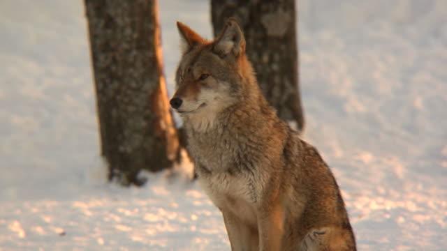 vídeos de stock e filmes b-roll de coyote na neve - coiote