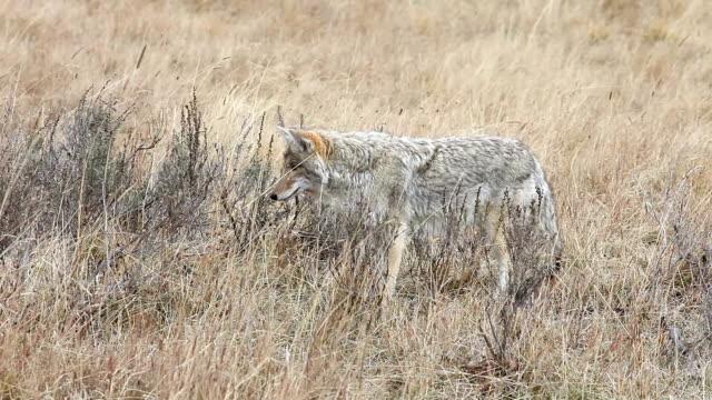 vídeos de stock e filmes b-roll de coyote no parque nacional de yellowstone, wyoming - coiote