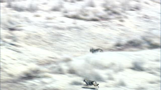 vídeos de stock e filmes b-roll de coyote on the run  - aerial view - texas,  clay county,  united states - coiote