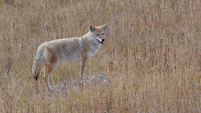 vídeos de stock e filmes b-roll de coyote pauses and stands on a rock at yellowstone - coiote