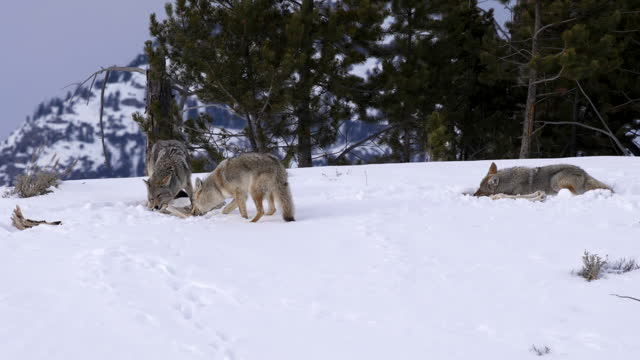 vídeos de stock e filmes b-roll de coyote pulls on a carcass bone as two pack mates feed at yellowstone - coiote