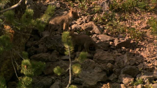 vídeos de stock e filmes b-roll de coyote dpnt - coiote