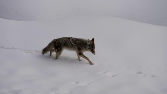 vídeos de stock e filmes b-roll de coyote - coiote