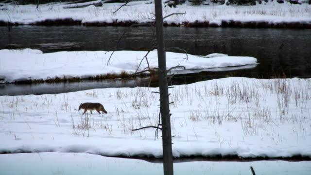 vídeos de stock e filmes b-roll de coyote wondering near a river in the yellowstone national park, montana, usa. - coiote