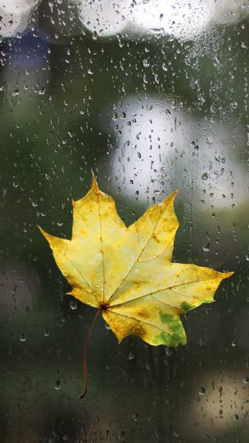 Cozy fall rain. Yellow autumn maple leaf on window in raindrops. Drop rain on a window glass with blur tree background. Vertical orientation