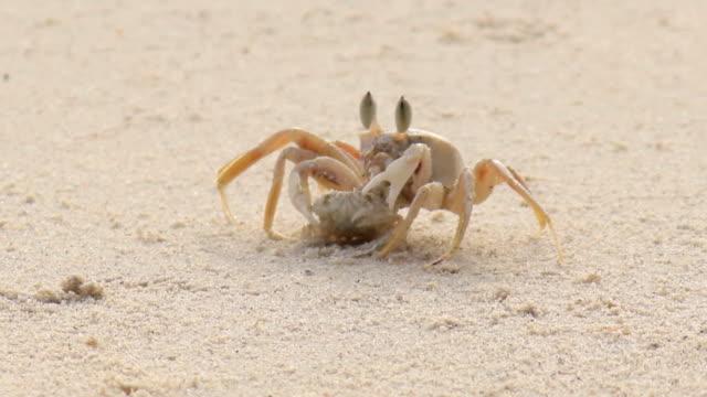 nutrizione granchio sulla spiaggia - granchio video stock e b–roll