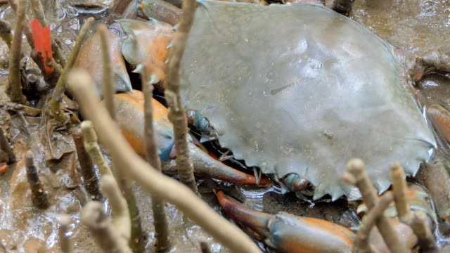 Crab in mangrove forest.