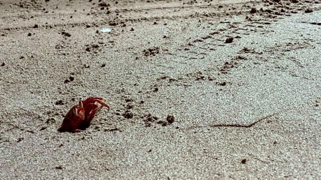 Cangrejo en la arena en un orificio en la playa en montañita ecuatoriana - vídeo