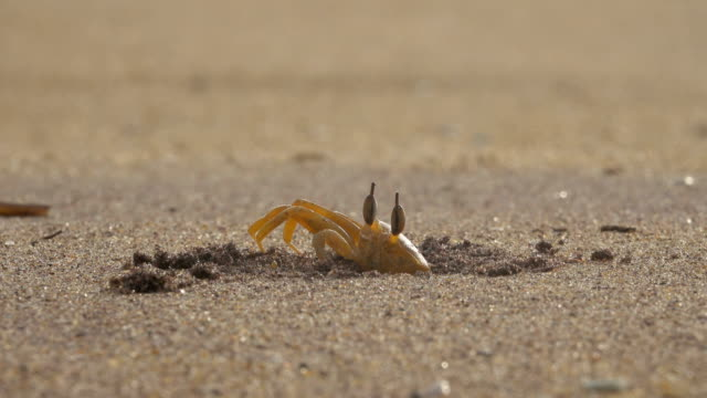 crab on a sandy beach close up. crab hides in a sandy hole on the beach - crostaceo video stock e b–roll