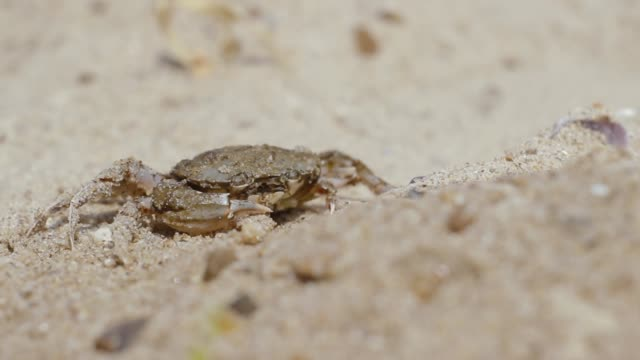 crab on the beach funny opens his mouth - granchio video stock e b–roll