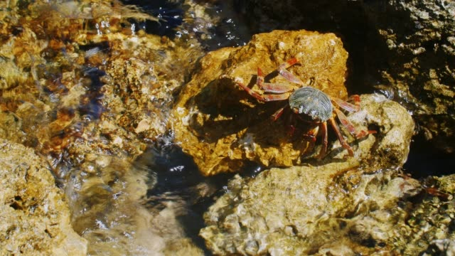 Crab sits on a rock on the coast of the Red Sea video