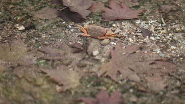 crab walking in the river stock video - crostaceo video stock e b–roll