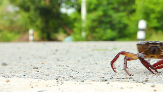 crab walking on the road - granchio video stock e b–roll