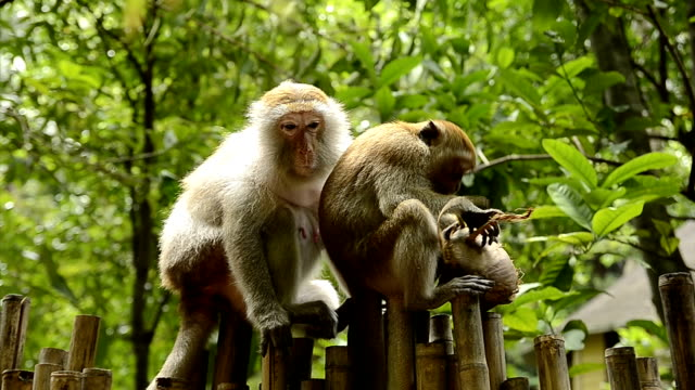 Crab-eating macaque video