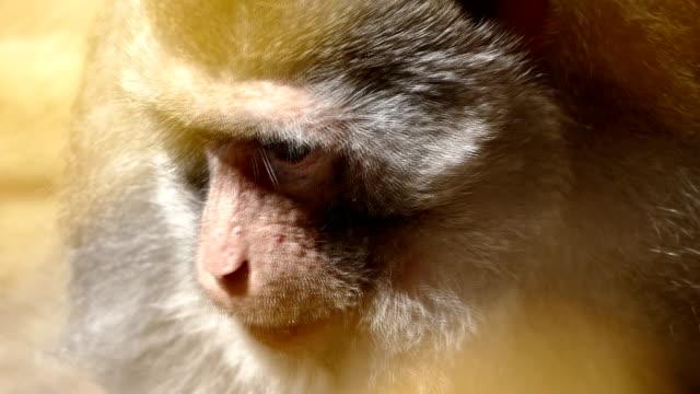 yengeç yiyen makak - makak maymunu stok videoları ve detay görüntü çekimi