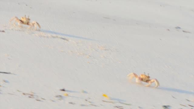 crabs on a beach at mida creek kenya close up - granchio video stock e b–roll