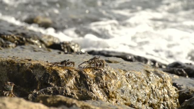 crabs on a stone beach - crostaceo video stock e b–roll