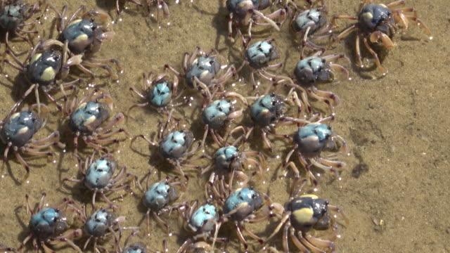 crabs - granchio video stock e b–roll