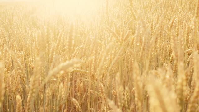 craft beer production field golden barley malt - gospodarstwo ekologiczne filmów i materiałów b-roll
