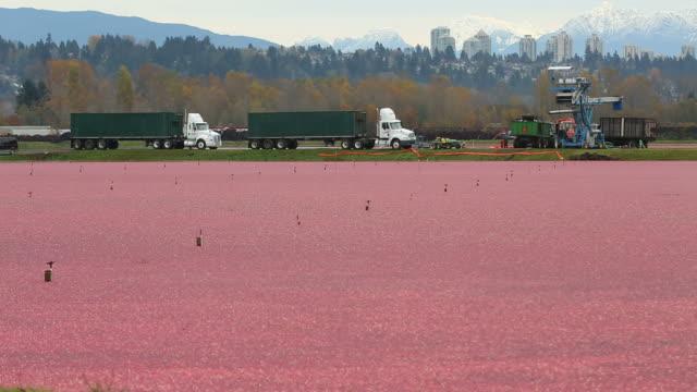 cranberry harvest, richmond, columbia britannica - attività agricola video stock e b–roll