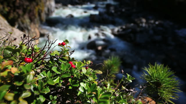 HD Cranberry in Front of Stream (Loopable) Seamless loopable real time shot of wild mountain cranberry in front of a rocky stream  Shot with CARL ZEISS Distagon 21mm f/2,8 T* lens wasser videos stock videos & royalty-free footage