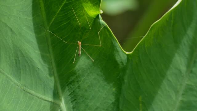 crane fly, daddy longlegs or mosquito hawk. - torace animale video stock e b–roll