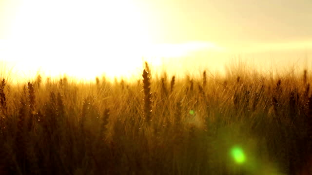 crane shot close in wheatfield backlight video