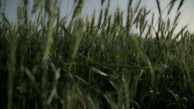 crane планом из пшеницы поле - дубовый лес стоковые видео и кадры b-roll