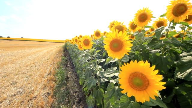 HD CRANE:Sunflowers video