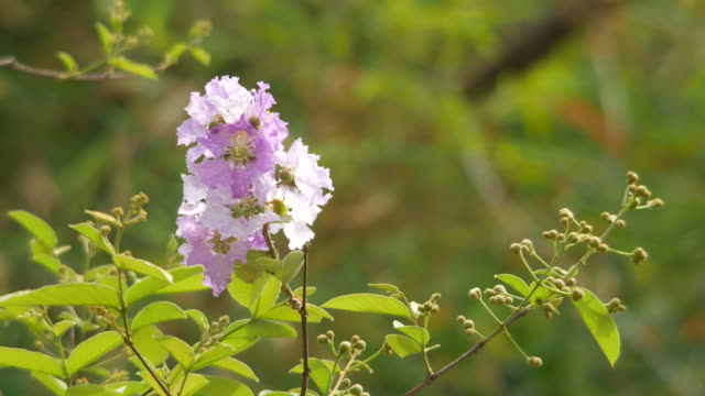 crape myrtle flower shaking with wind video