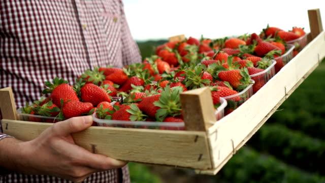 vídeos de stock e filmes b-roll de crate of strawberries - morango