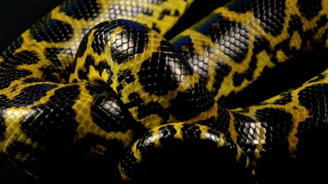 vídeos y material grabado en eventos de stock de anaconda rastreros en estudio - serpiente