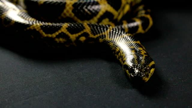 Crawling anaconda with tongue video