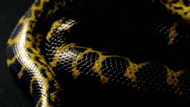 Crawling in knot anaconda video