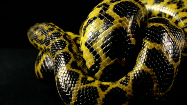 Crawling in knot yellow snake video