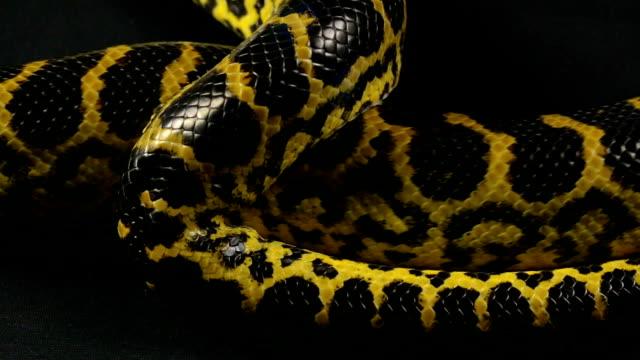 Crawling pet python on black background video