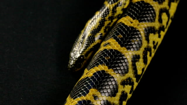 Crawling pet yellow anaconda video