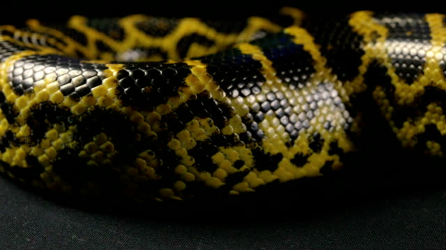 Crawling snake on black background video