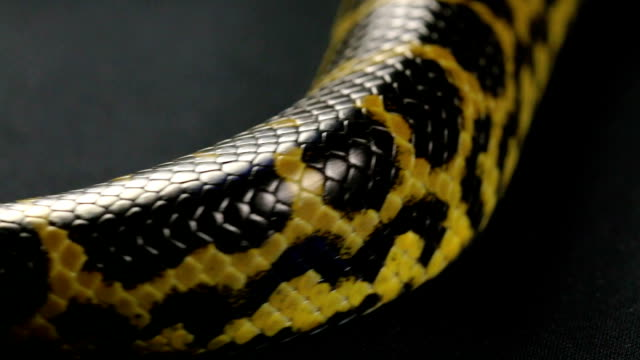 Crawling tail of yellow anaconda video