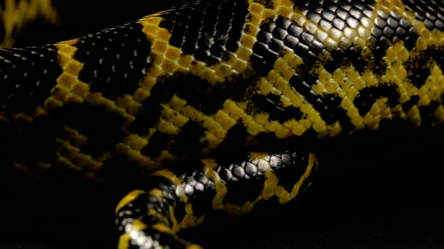 Crawling tail of yellow python video