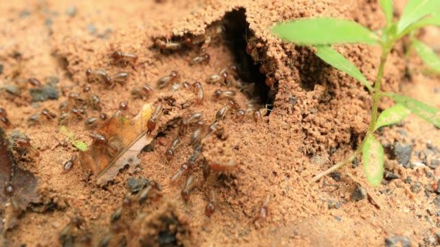 Crawling Termite Seamless loop. Teamwork Concept Crawling Termite Seamless loop. Teamwork Concept isoptera videos stock videos & royalty-free footage