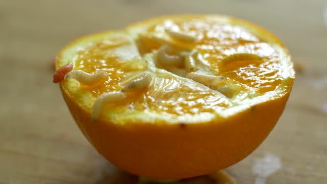 kriechende worms am orangenfrucht - verfault stock-videos und b-roll-filmmaterial