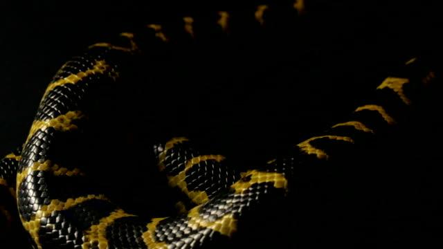 Crawling yellow anaconda in shadow video
